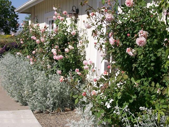 David Austin Rose A Shropshire Lad Roses Pinterest David Austin David Austin Roses And