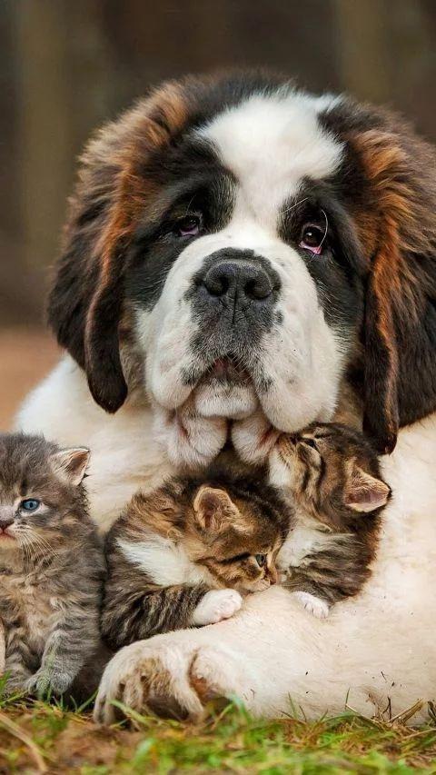 Den här St. Bernhard-hunden sitter barnvakt åt tre små söta kattungar.
