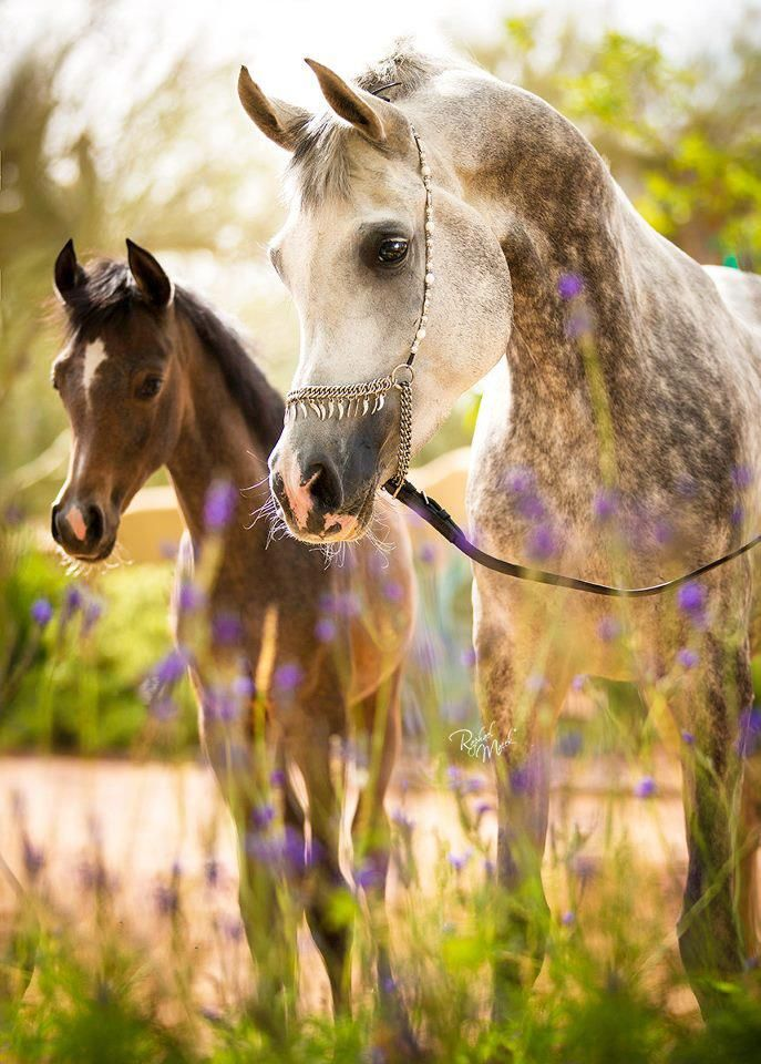 Omg love these Arabians! #arabians #photography ~ Gorgeous horse and PHOTO, the grey and back against the green behind and the purple flowers in front is a knockout!