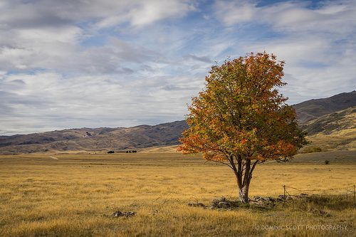 Lone Autumn Tree - Nevis Valley  Otago New Zealand