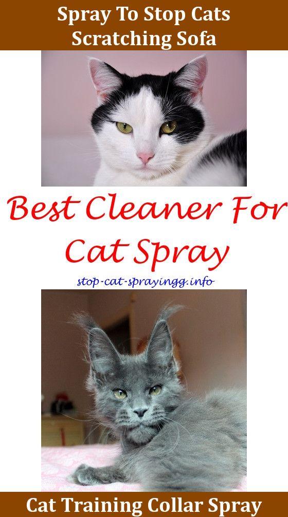 why do female cats spray rh co pinterest com