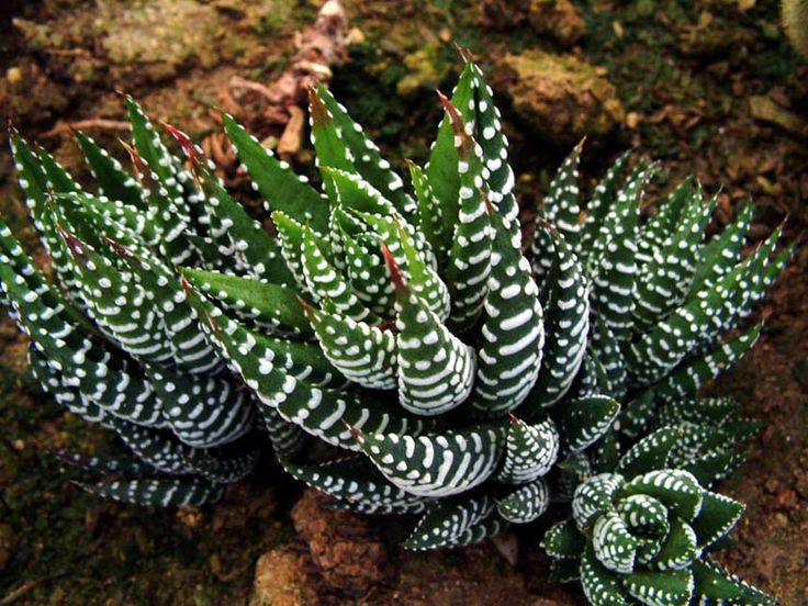 Types of Succulent Plants | Plant Botanical Name : Haworthia fasciata                                                                                                                                                                                 More