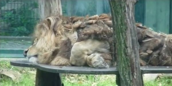 petition: Free Malik, the saddest lion in Germany, from Tierpark Chemnitz