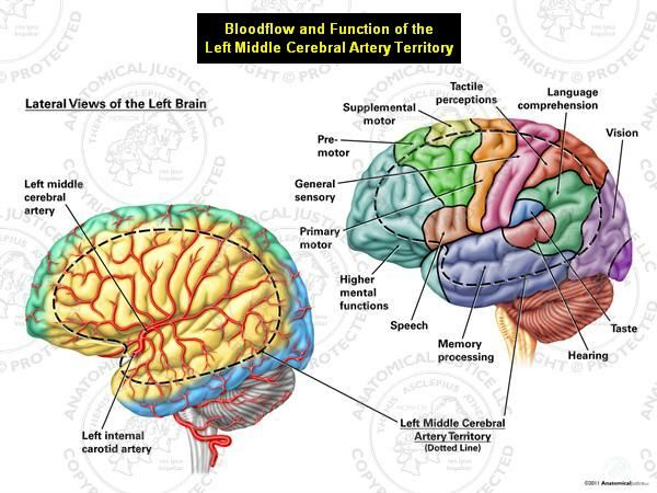 11 best brain neuro stuff images on pinterest neurology lateral view of human brain middle cerebral artery the left middle cerebral ccuart Choice Image