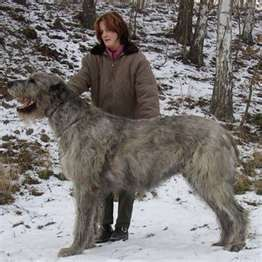 irish wolfhound - a great companion for a single gal, no one would bother her with this thing!