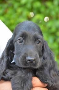 English cocker spaniel girl - looks like our puppy Kramer :)