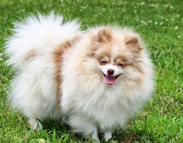 Beaver Merle Parti Pomeranian | One Love Poms | Everything ...