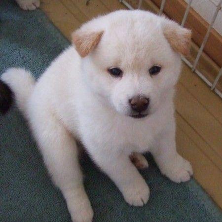 柴犬 子犬 白