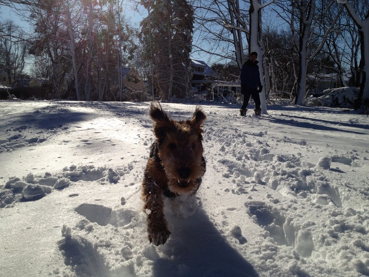 Airedale Snow Monster