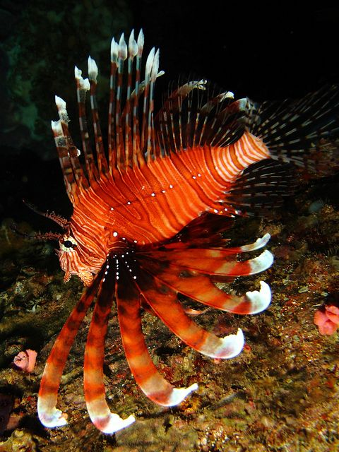 Lion fish *My dad had one of these when i was growing up. I love these fish. There sooo pretty and exotic looking*
