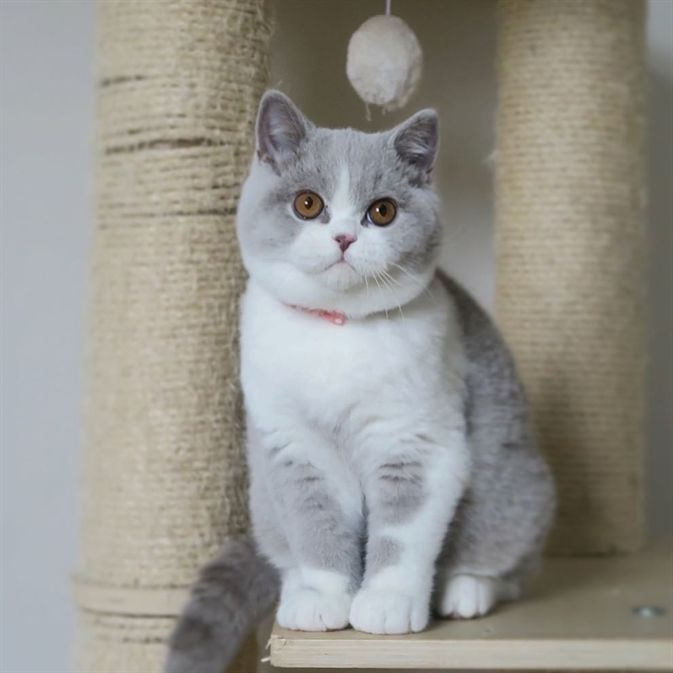 Joyful Picture Of British Shorthair Cat Adorable Animals Feline