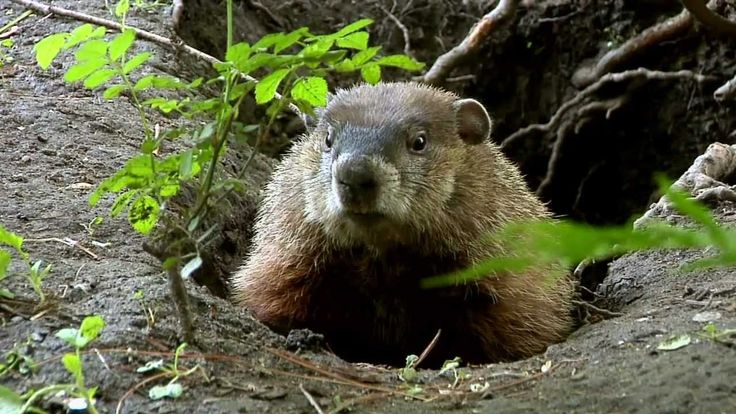 An in depth look at the Groundhog, one of nature's most elusive and most adorable creatures. Filmed in and around Ojibway Park in Essex County.