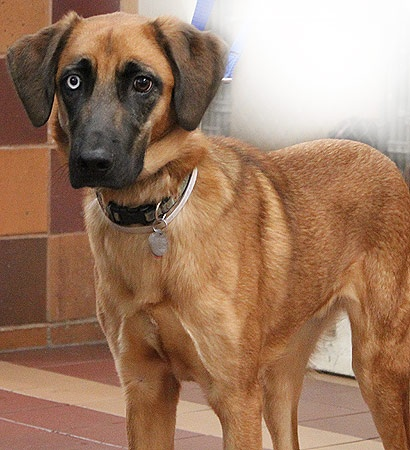 ben is a very shy husky bloodhound mix ben is energetic good with