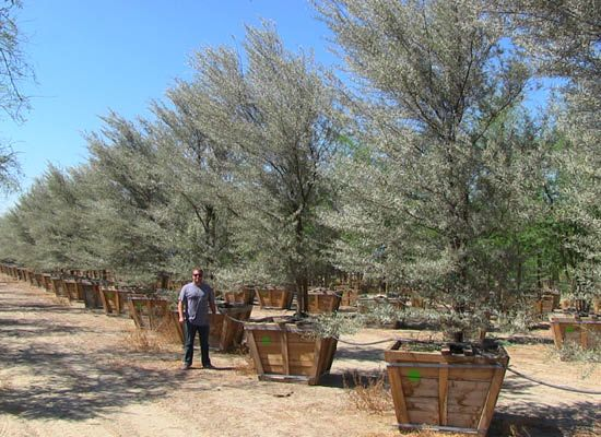 16 Best Waterwise Trees Los Angeles Images On Pinterest Acacia