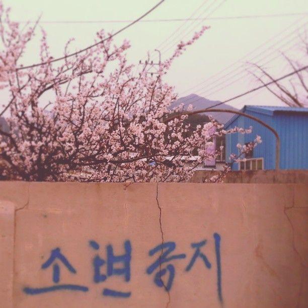 onehanaone / #벚꽃 #cherryflowers #사천 #담벼락 #봄 #spring #꽃 #flower 경남엔 벌써 벚꽃이 / #골목 #경고 #글자들 / 경상남 사천 / 2013 03 28 /