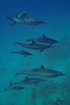 Swim with dolphins in Waianae, Oahu, Hawaii