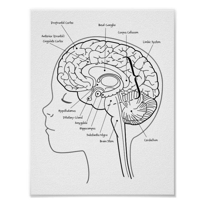 What S In Your Brain Poster Zazzle Com Brain Poster Preschool Body Theme Brain Anatomy