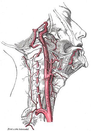 The Internal Carotid Artery -- bartleby.com