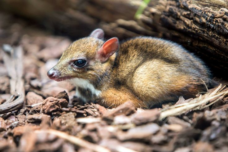 Mouse Deer are native to forests of South and Southeast Asia, with a single species in the rainforests of Central and West Africa. The species residing at Artis is native to the Indonesian island of Java.