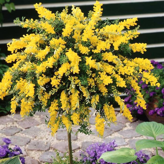 Cytisus Geel op Stam (Gele Brem op Stam) - 1 boom