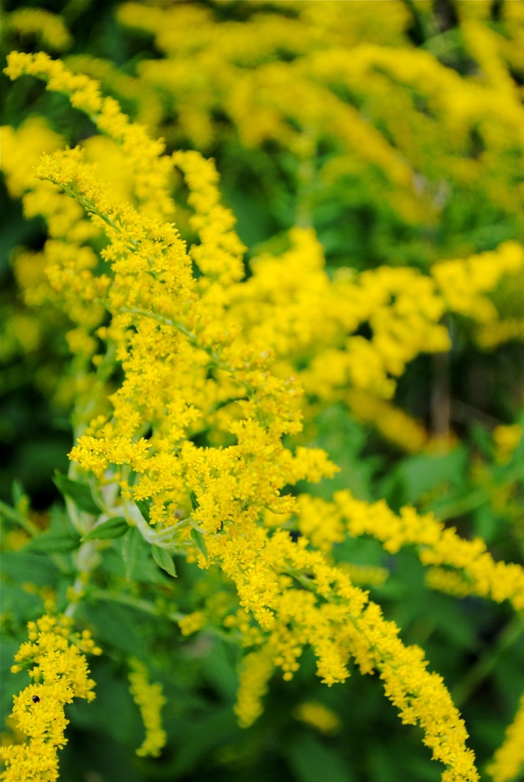 Goldenrod, the state flower | There - 246.2KB