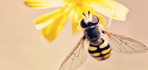 عدد عيون النحلة ومعلومات عن النحل Bee Close Up Photography Bee On Flower