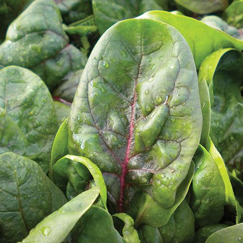 Plant World: RED VEINED SPINACH SEEDS (SPINACH)