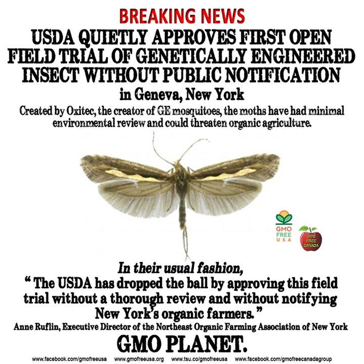 USDA approved the release of these GE Diamondback moths quietly, without any public notice to nearby farmers who might be negatively affected. What might happen to birds or other animals who consume them? What might happen to US if we inadvertently consume their larvae? No one knows. It's happening. GMO PLANET.   READ…
