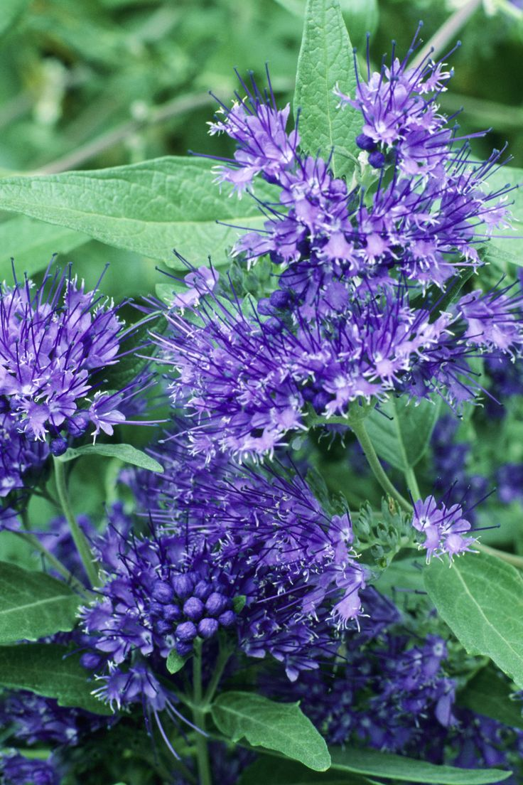 Flowers and Plants for a Fall Garden -Caryopteris