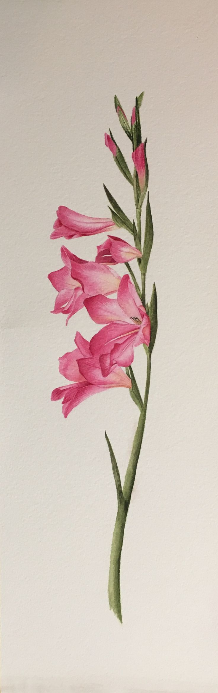 25 best ideas about gladiolus on