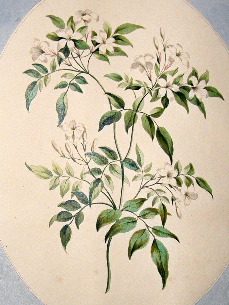 john-edwards-1795-folio-hand-col-botanical-print.-white-jasmine-[2]-51494-p.jpg (788×1050)