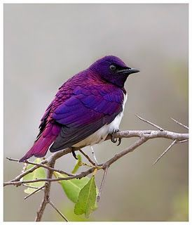 Violet Backed Starling  http://www.birdlife.org/datazone/speciesfactsheet.php?id=6793  http://www.sabisabi.com/wildfacts/violet-backed-starling