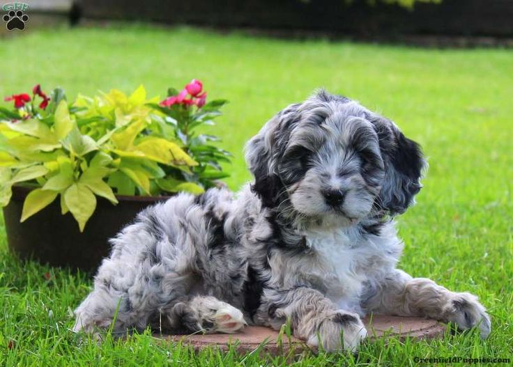 Morgan, Cockapoo Puppy