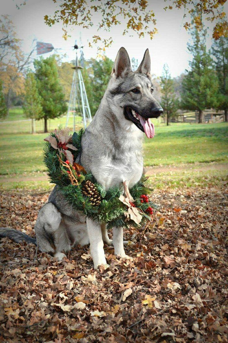 Silver sable german shepherd www.bellevuegsd.com                                                                                                                                                                                 More