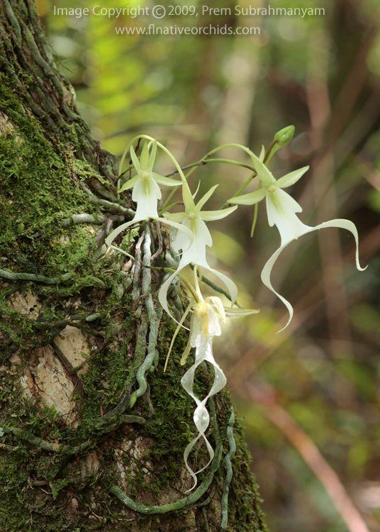 Resultados de la Búsqueda de imágenes de Google de http://www.flnativeorchids.com/images/orchids/dendrophylax_lindenii/dendrophylax_lindenii...