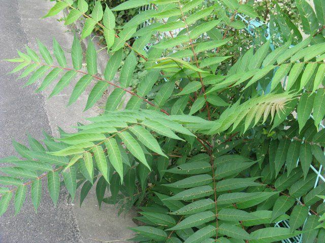 9月12日の誕生日の木は「シンジュ(神樹)」です。 ニガキ科の落葉高木で和名を「ニワウルシ(庭漆)」。植物図鑑にはこちらの名前で掲載されています。原産地は中国北中部。日本には明治初期に渡来しました。 和名に「ウルシ(漆)」とありますが、「ニワウルシ」の由来はウルシに似ていて、庭に植えられるから。ウルシ(漆)科では無いので漆かぶれの心配はありません。 一方「シンジュ(神樹)」の名前の由来は「天にも届く高木」。 英名では「Tree of Heaven(天の木)」。繁殖力が旺盛で成長のも早い、樹高が10~25mに達し、大きな樹冠を形成することから、「天にも届く高木」という事から付けられました。 この英名がドイツに渡った際、「Heaven=天国」と解釈されたようで、独名「Götterbaum(ゲッテルバウム:神の樹)」となりました。「シンジュ(神樹)」の由来はこの独名を直訳したものとのことです。