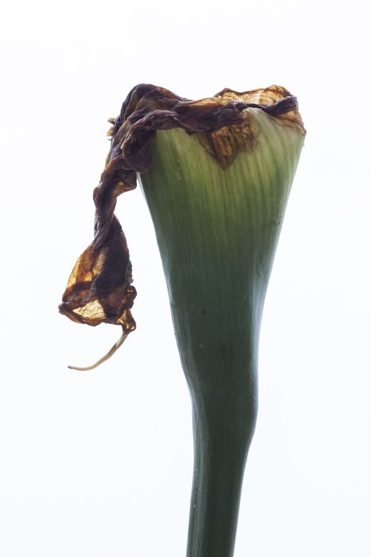 Photo of decaying arums.  Arums de Clisson 2016 @Philippe-H. Claudel  www.philippe-h-claudel.fr