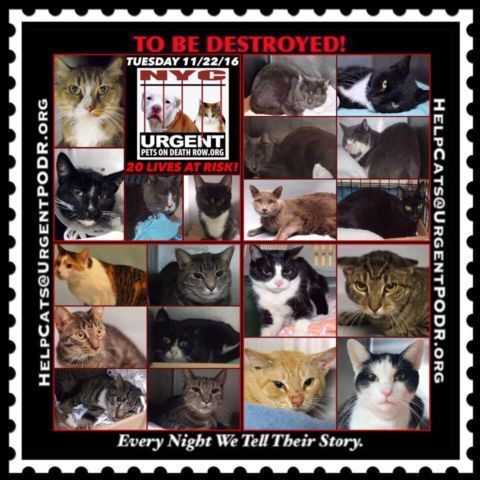 """TO BE DESTROYED 11/22/16 - - Info  Please Share:Please share View tonight's list here: http://nyccats.urgentpodr.org/tbd-cats-page/  The shelter closes at 8pm. Go to the ACC website( http:/www.nycacc.org/PublicAtRisk.htm) ASAP to adopt a PUBLIC LIST cat (noted with a """"P"""" on their profile) and/or … CLICK HERE FOR ADD...-  Click for info & Current Status: http://nyccats.urgentpodr.org/to-be-destroyed-091716/"""