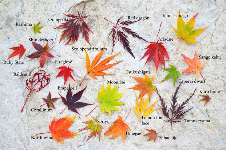 Japanese maple leaf comparison and fall color comparison