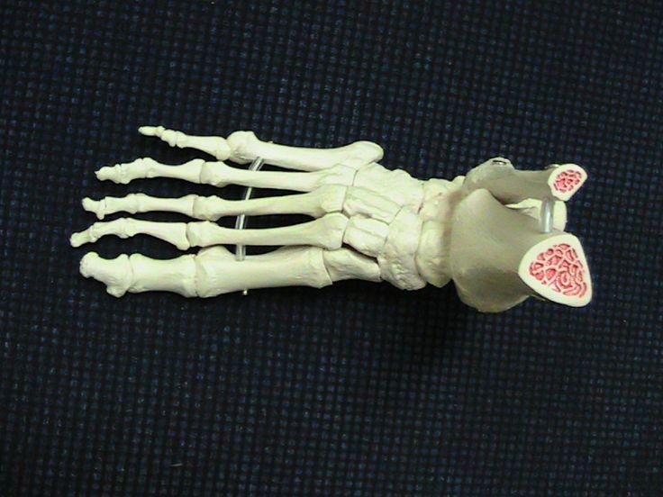 Anatomia-malli: jalkaterän luiset rakenteet. Tämä on tärkeä työväline jalkojen terveydenhoitoon syventyneelle lähihoitajalle.