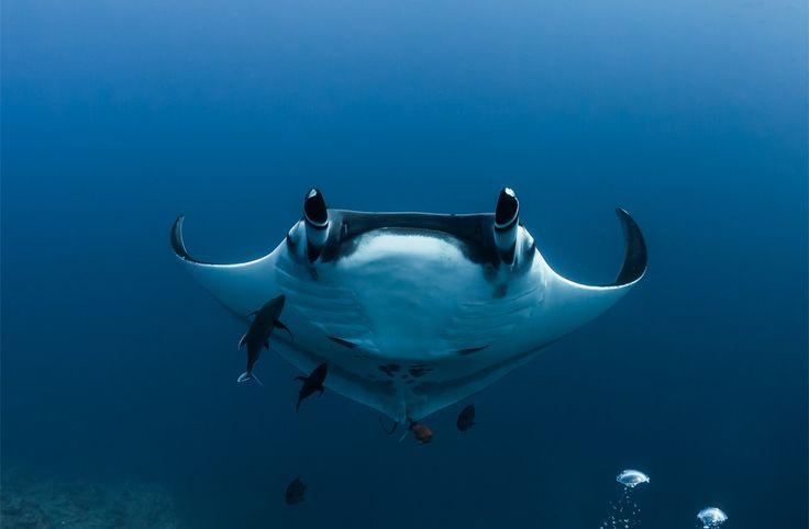 Manta Rays Of Archipelago Rivilya Hihedo, Mexico Photography By: Alex Pupyshev