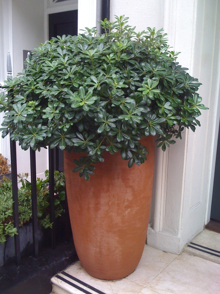 Small Vegetable Garden Ideas >> Pittosporum planted in tall terracotta pot outside Hotel entrance | Outdoor Odyssey | Garden