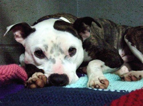 25  best ideas about american bulldog breeders on pinterest
