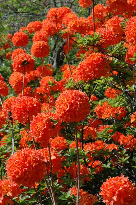 Mandarin Lights Azalea has deep orange flowers that are rare in flowering shrubs.