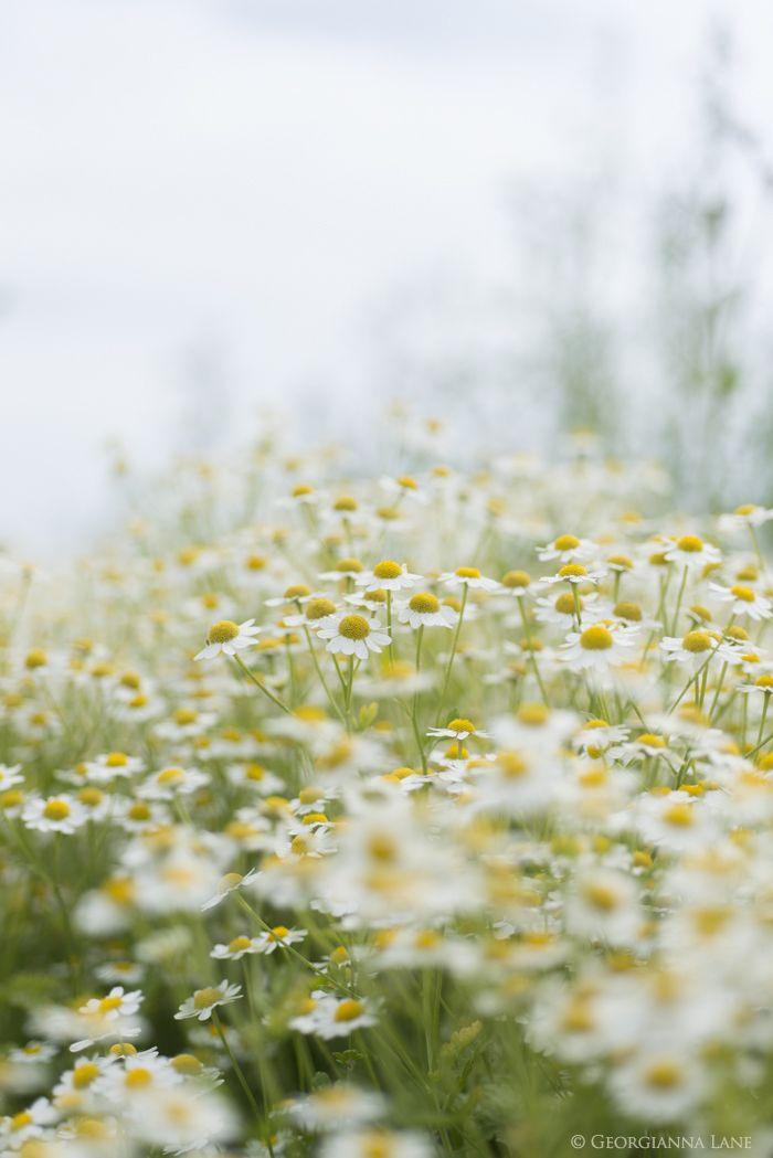 Feverfew. Summer flowers by Georgianna Lane