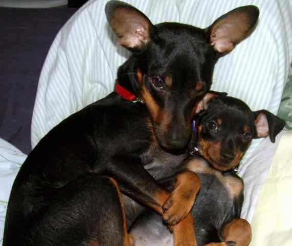 17 Best Images About Pins For Pets On Pinterest: 8 Best Miniature Pinscher Puppies Images On Pinterest