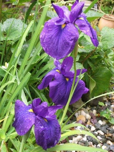 Growing Japanese Iris Plants: Information And Care Of Japanese Iris - When you are looking for an easy-care flower that loves wet conditions, then the Japanese iris is just what the doctor ordered. Get tips on how and when to plant Japanese irises in this article.