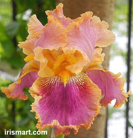 Lacy Linda Tall Bearded Iris Hybridized by Meininger; Year of Registration or Introduction: 2000. TB 30 inches (76 cm), EM Standards are ...
