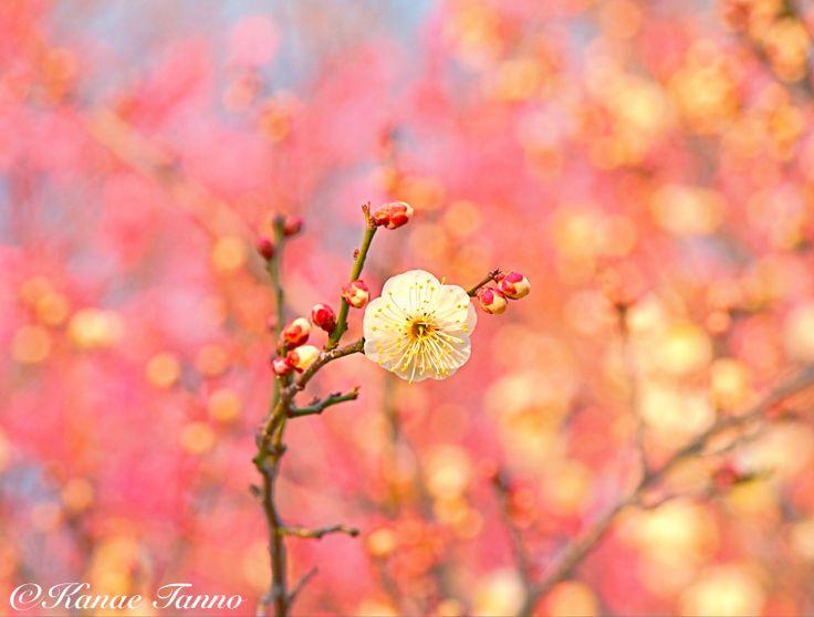 Flower of white plum.