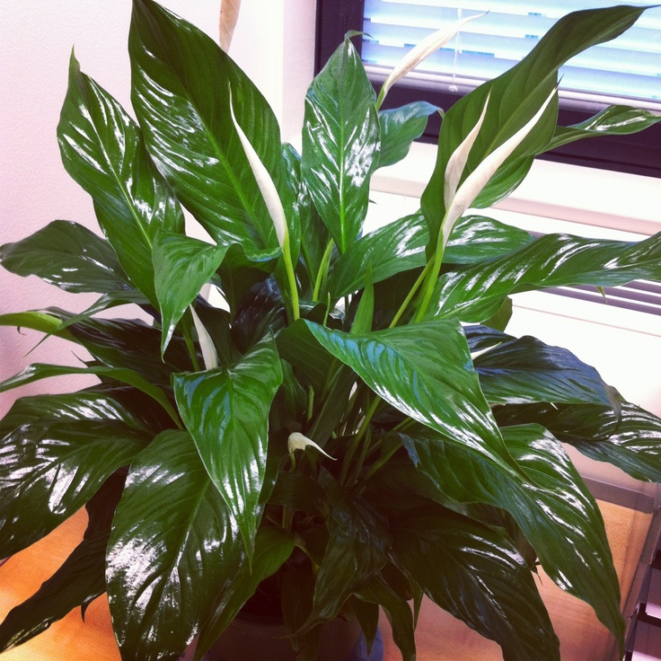 Peace Lily to improve the air in my practice room and hopefully peace for my clients